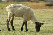 Recently Sheared Ewe