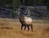Elk Vii