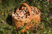 Birchbark Basket Full Of Mushrooms