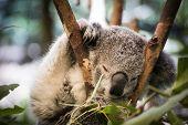 Koala Sleeping In Gumtree