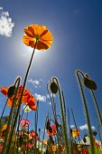 stock photo of tall grass  - Tall poppy syndrome represented by an orange poppy reaching upward - JPG