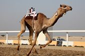 stock photo of qatar  - Traditional camel race in Doha Qatar Middle East - JPG