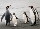 Royal and King penguins