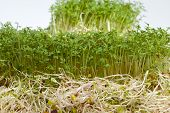 foto of soybean sprouts  - Fresh alfalfa sprouts and cress on white background - JPG