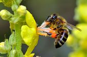 picture of summer insects  - bee on yellow flower in summer - JPG