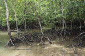 stock photo of langkawi  - Healthy mangrove forest at Langkawi island Malaysia - JPG