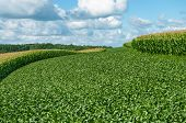 stock photo of corn  - Alternating contour strips of soybeans and corn protect against erosion and soil depletion on a farm in southern Wisconsin - JPG