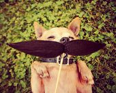 a cute chihuahua with a mustache toned with a retro vintage instagram filter