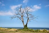 Dead Tree At Ocean Front With Horizon Background
