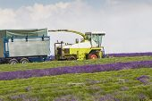 Lavender Being Harvested By Machine
