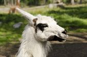 foto of lamas  - Close up of a Lama animal in North of Sweden