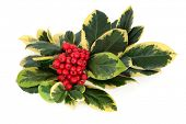 Variegated holly with red berry cluster over white background. Llex aquifolium.
