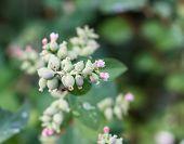 Flowers Snowberries, Symphoricarpos