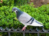 Grey Pigeon On Fence By Green Bush.