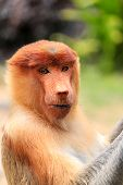 Curious Proboscis Monkey