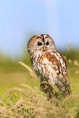 Tawny Owl In A Grassy Field
