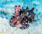 pic of cuttlefish  - A colorful Flamboyant Cuttlefish on a sandy seabed - JPG