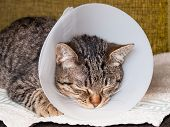 stock photo of castration  - Sleeping cat with an Elizabethan collar inside home
