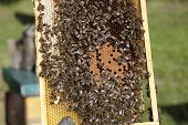 Bees With Brood Comb