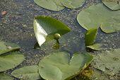 Bud Water Lilies