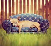 a cute chihuahua napping on a couch toned with a retro vintage instagram filter