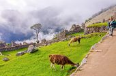 Senior tourist watching llamas in ruins of Machu Picchu, Peru
