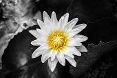 Waterlily, Lotus Flower