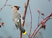 stock photo of bohemian  - A winter scene with a Bohemian Waxwing and rosehips - JPG