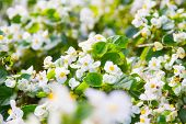 picture of begonias  - Beautiful white Begonia flower with blur  - JPG