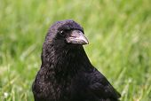 Carrion Crow close up