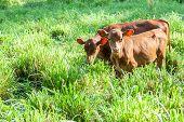 Cow Calfes