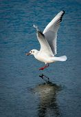 Seagull With Stone Above Frozen Lake