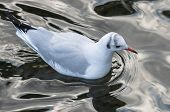 Floating Seagull
