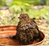Hot female Blackbird cooling down