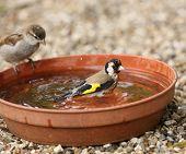 Goldfinch bathing