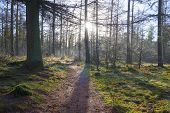 Footpath in a pine forest at sunrise in winter