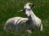 Nice she-goat
