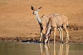 Kudu antelopes (Tragelaphus strepsiceros) drinking water, Pilanesberg National Park, South Africa