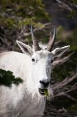 Mountain Goat With Pine Tree Stick In The Mouth