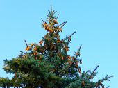 Fir - Tree And Cones