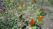 picture of butterfly-bush  - The Crimean butterflies sit on the small bush of agrimony - JPG