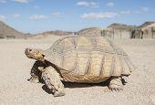 Large Tortoise Walking In The Desert