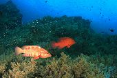 image of grouper  - Coral Grouper fish - JPG