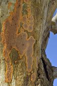 Wrinkled Crust Fungus
