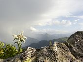 picture of edelweiss  - Edelweiss on a rock and an approaching thunderstorm in the background - JPG