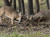 A pair of Wild Deer fighting