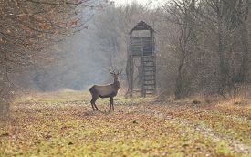 picture of deer  - Red deer standing in forest with hunting tower in background - JPG