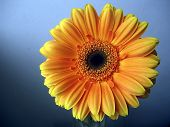 Yellow - Orange Gerbera