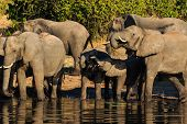 Постер, плакат: Group And Baby Elephant Drinking Chobe Africa