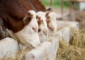 picture of manger  - Bulls eating lucerne hay from manger on farm - JPG
